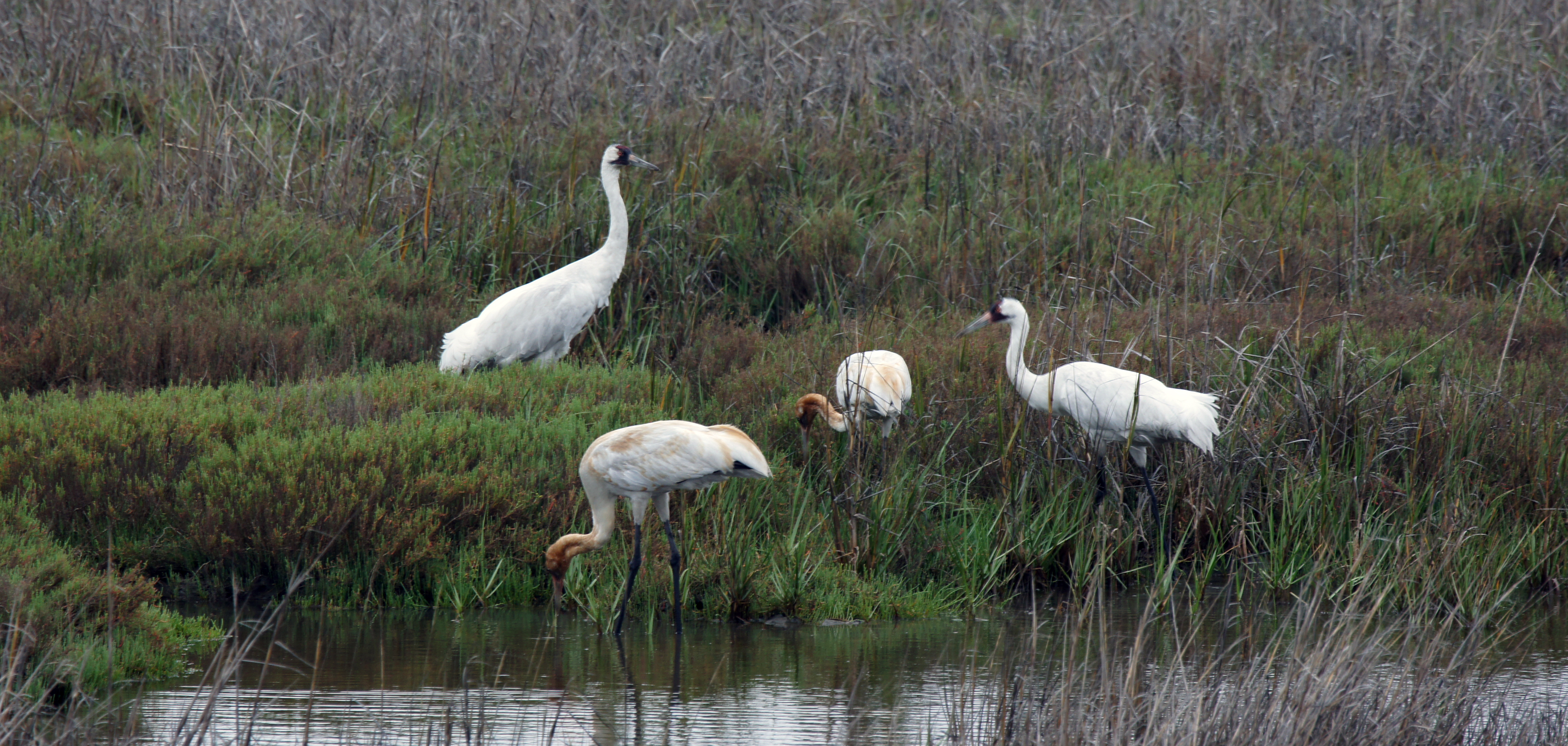 Four whooping cranes along the San Antonio River