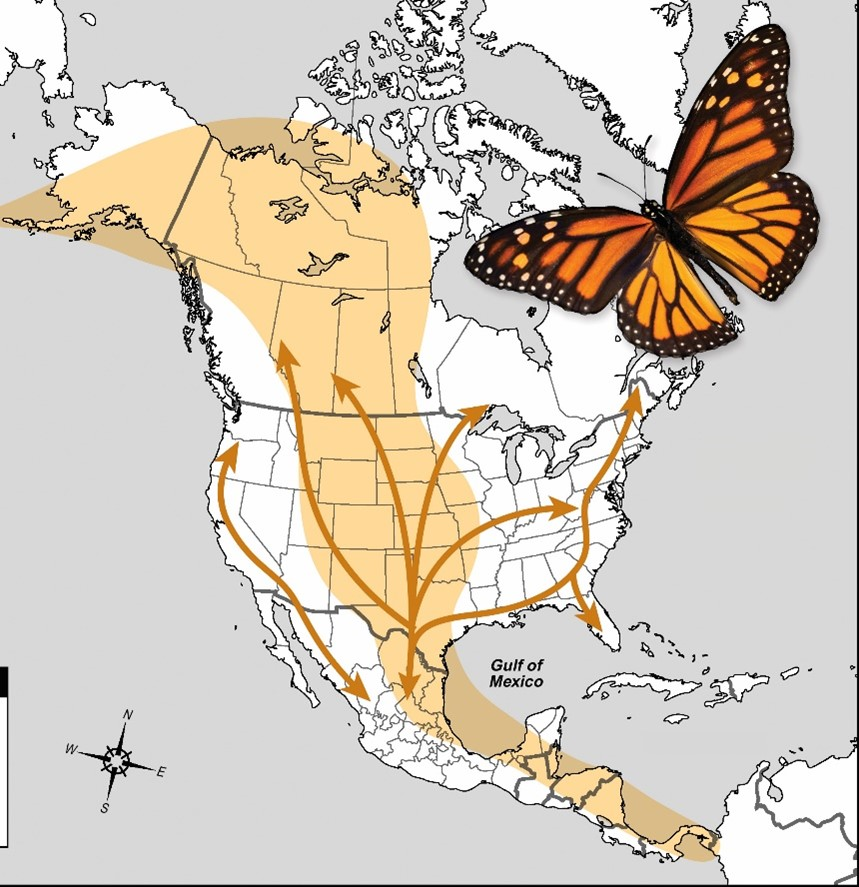 Map showing the migration path of the Monarch butterfly