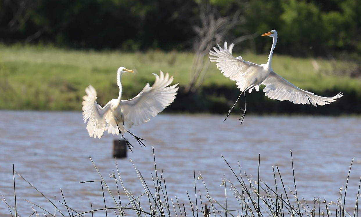 A pair of snowy egrets take flight along the San Antonio River in Karnes County