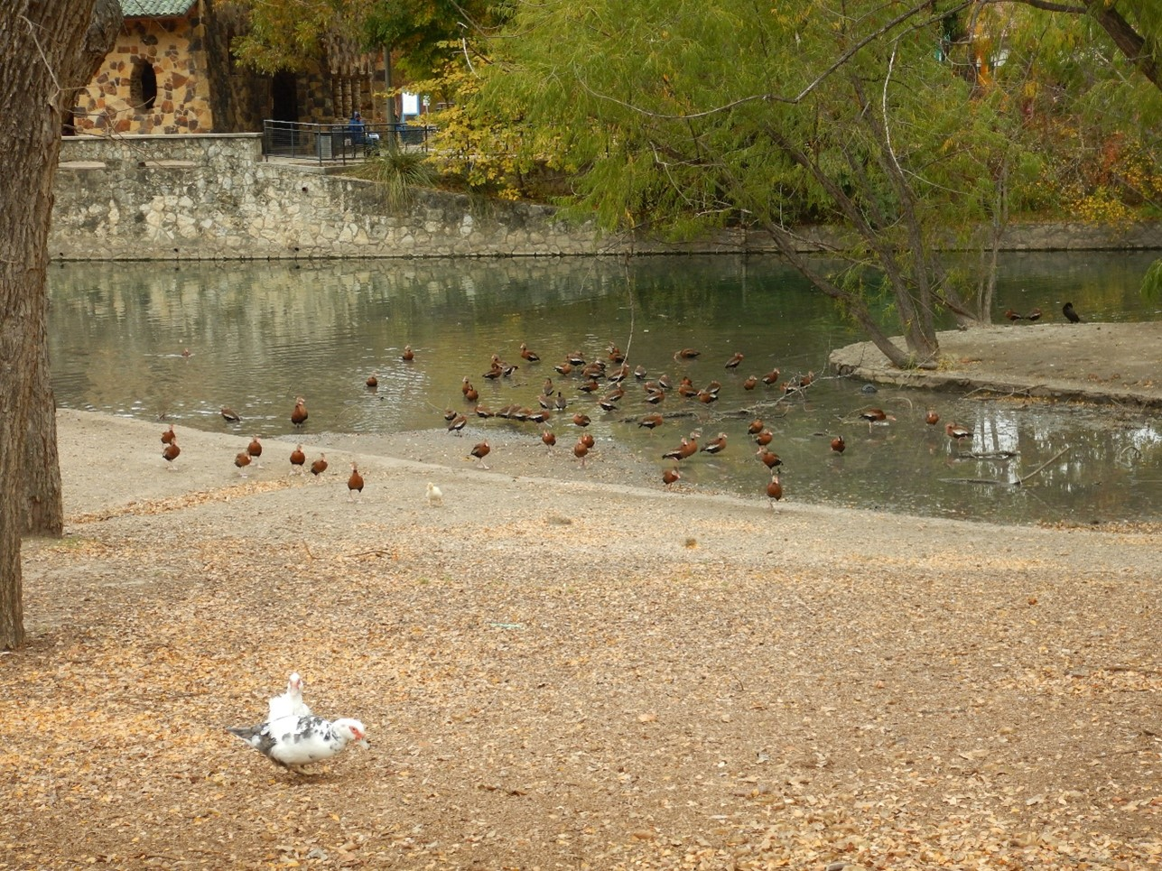 A group of ducks gather at a park