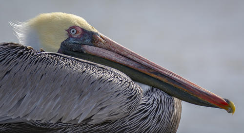 Pelican in San Antonio Bay