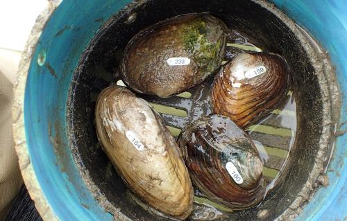 Freshwater mussels taken from the San Antonio River.