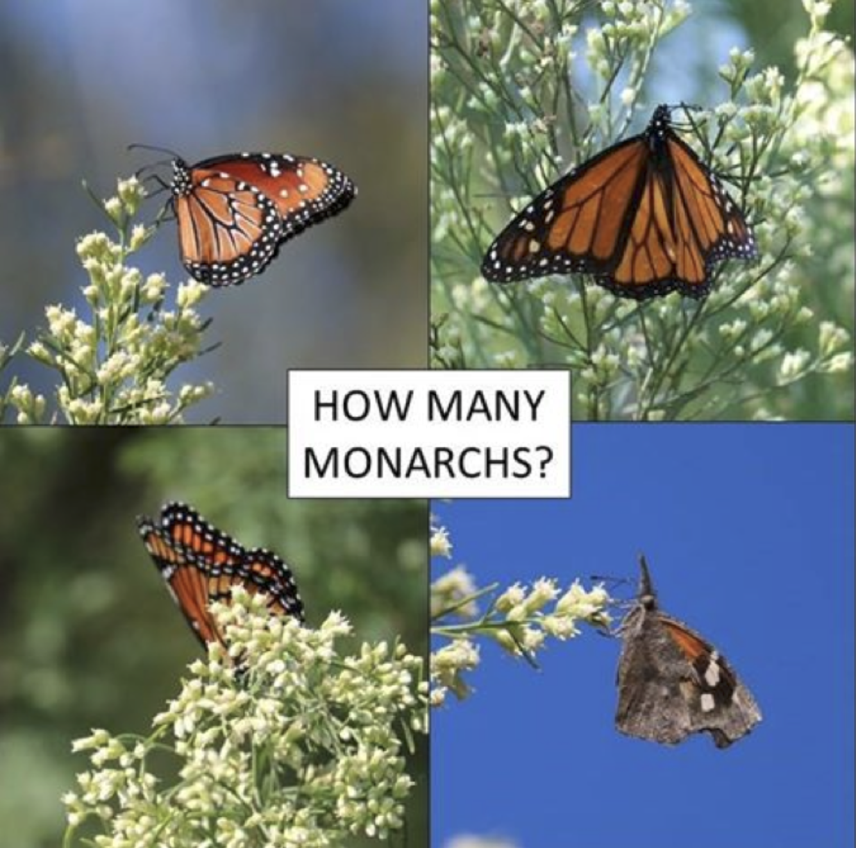 Different species of Monarch butterflies found on the San Antonio River