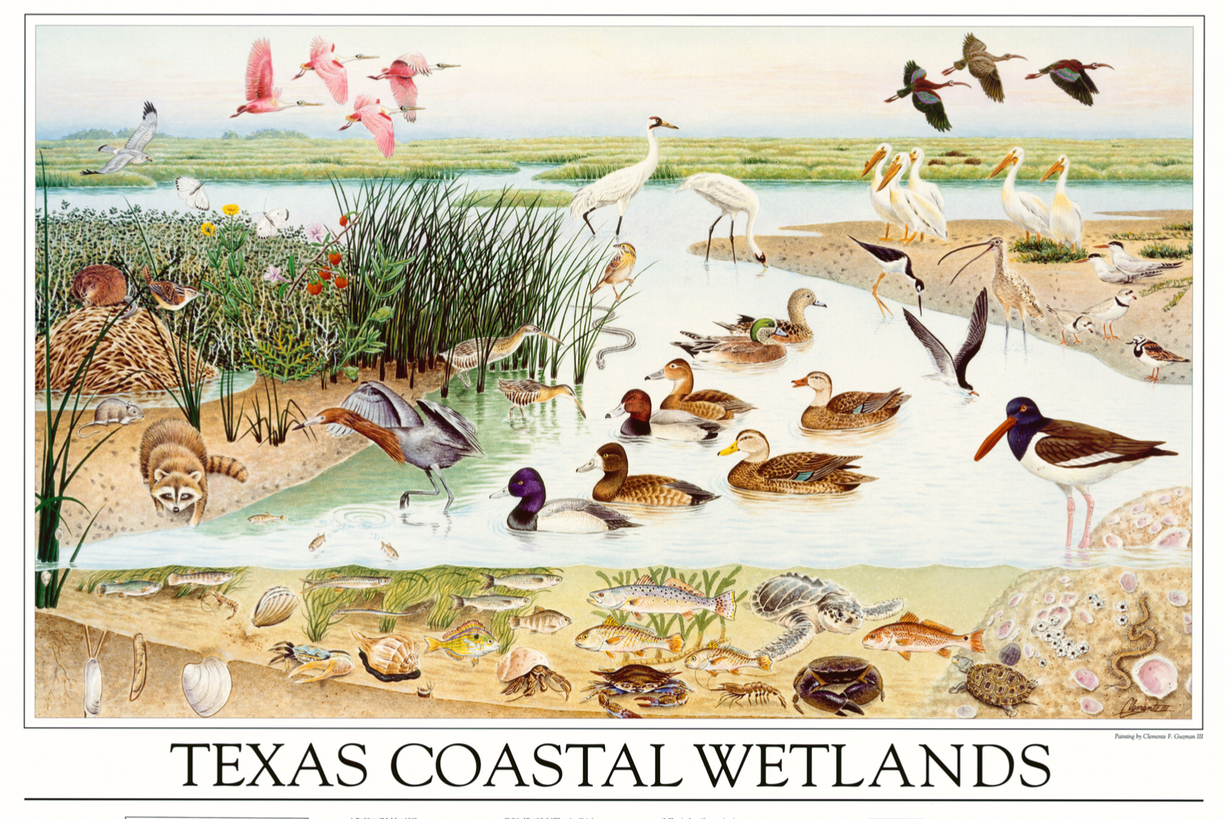 Illustration of species in the Texas Coastal Wetlands
