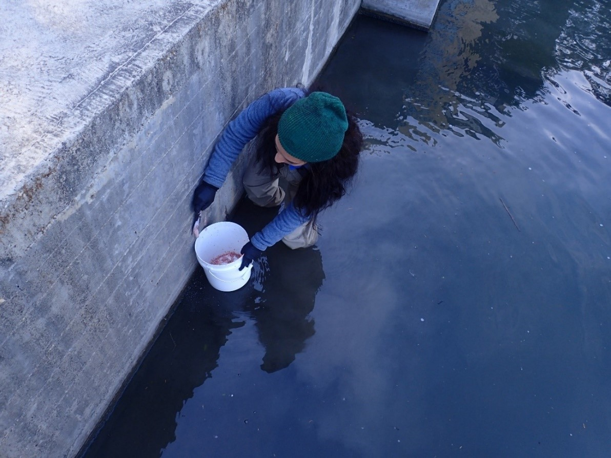 River Authority staff removes Apple Snail egg clusters along the San Antonio River