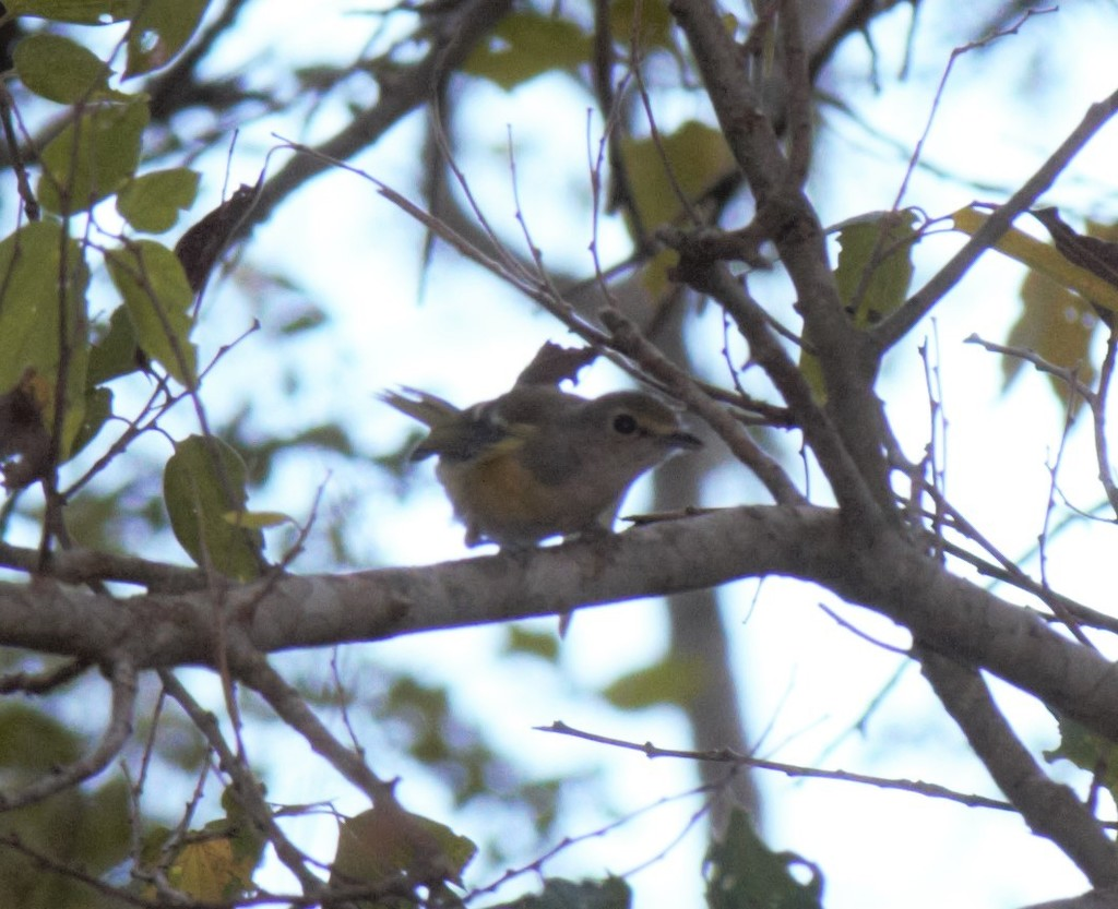 Peter Joseph recorded this white-eyed Vireo observation as part of our Summer 2020 Bio Blitz